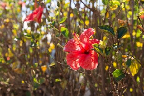 Les hibiscus sont en fleurs en juin dans les Açores.