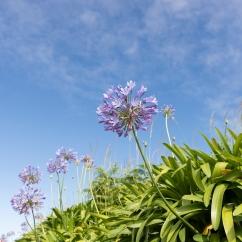 De nombreuses fleurs longent les routes des Açores: hibiscus, agapanthe, hortensia...