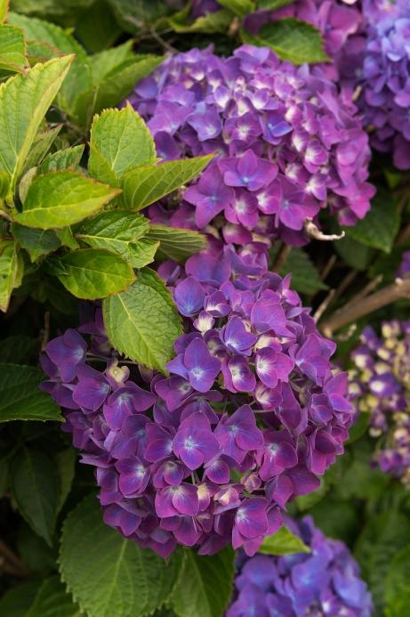 De gros hortensia violets en fleurs.
