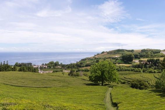 Les plantations de thés Cha Gorreana près de Maïa