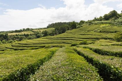 Le thé ou Chá pousse aussi en Europe mais dans des conditions climatiques particulières.