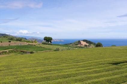 Plantation de thé incroyable au coeur de São Miguel.