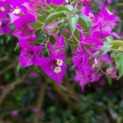 Les bougainvilliers en fleurs, aussi présents sur l'île.