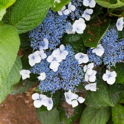Une autre variété d'hortensia.