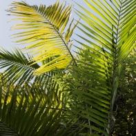 Feuille de palmier à Coffs Harbour, Australie.