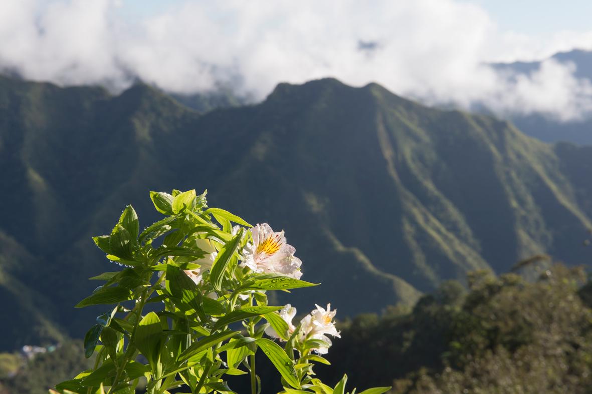 Photographie de fleurs en premier plan avec les montagnes des Philippines en arrière plan.