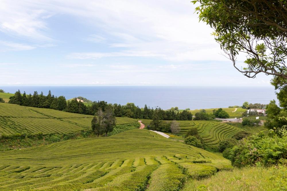 Photographie des plantations de thé dans les Açores.