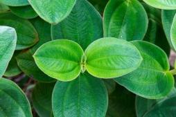 Plante endémique des Açores.