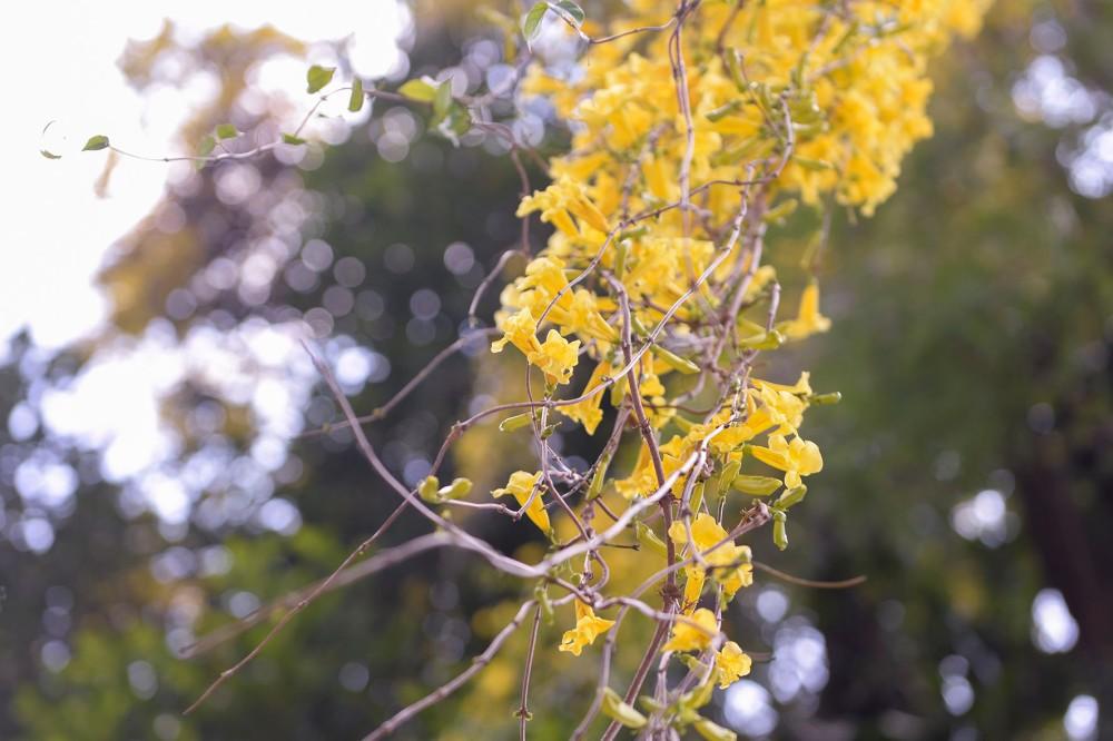 Photographie de fleurs jaunes pendantes dans un jardin botanique au Sri Lanka.