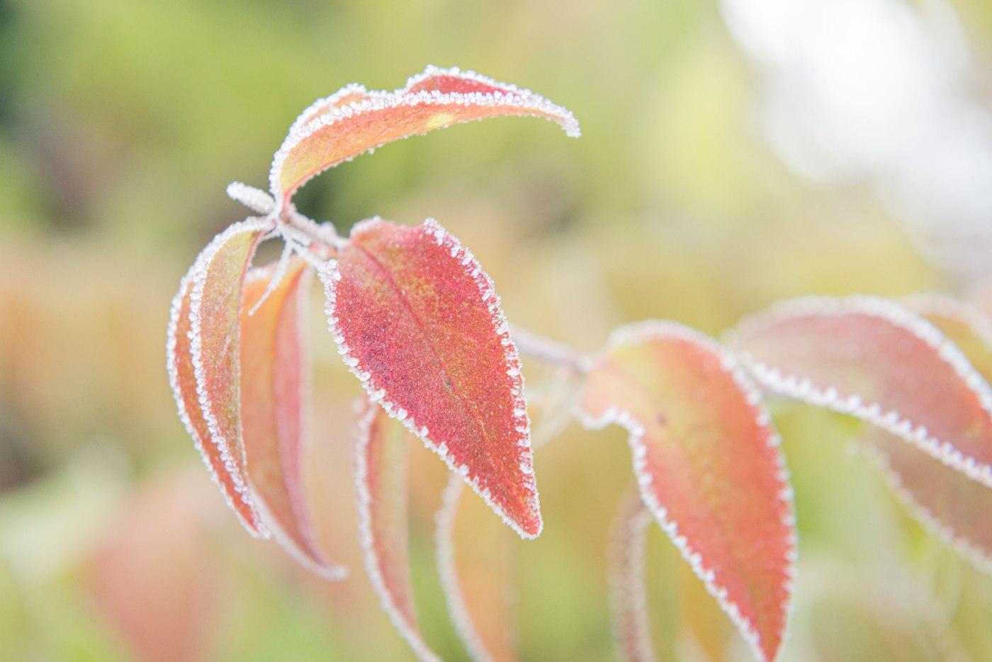 Photographie en gros plan de feuilles colorées dont les bords sont gelés.