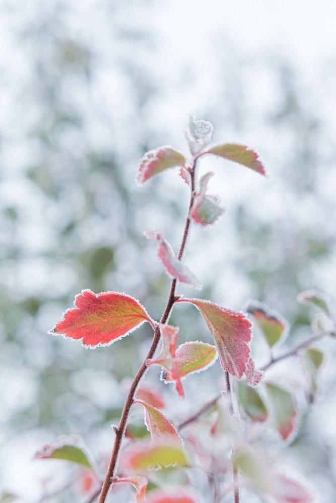 Photographie du dessous de feuilles givrées.