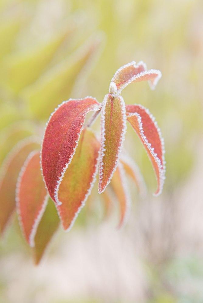 Photographie de feuilles colorées avec givre sur les bords.