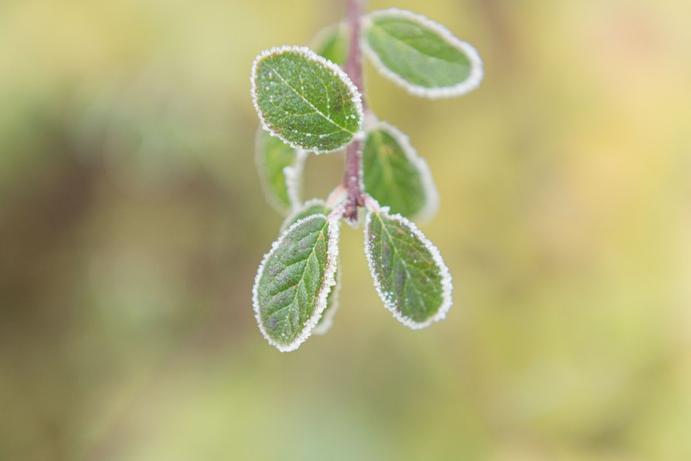 Photographie du dessus de feuilles recouvertes de givre.