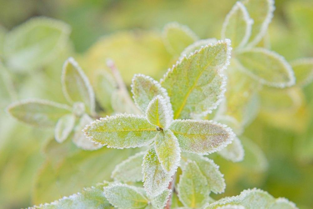 Photographie de face de feuilles de menthe givrées.