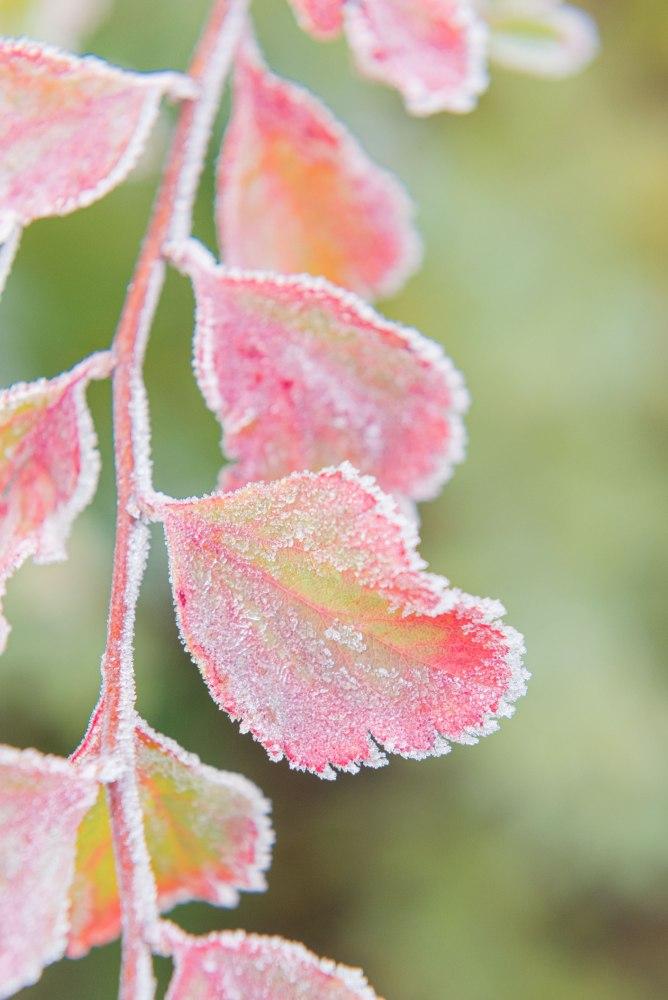 Photographie en gros plan de feuilles colorées et givrées.