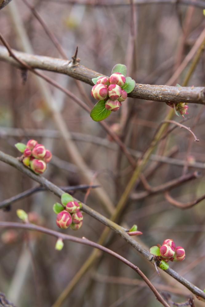 Photo de face d'une branche d'arbre qui bourgeonne au printemps.