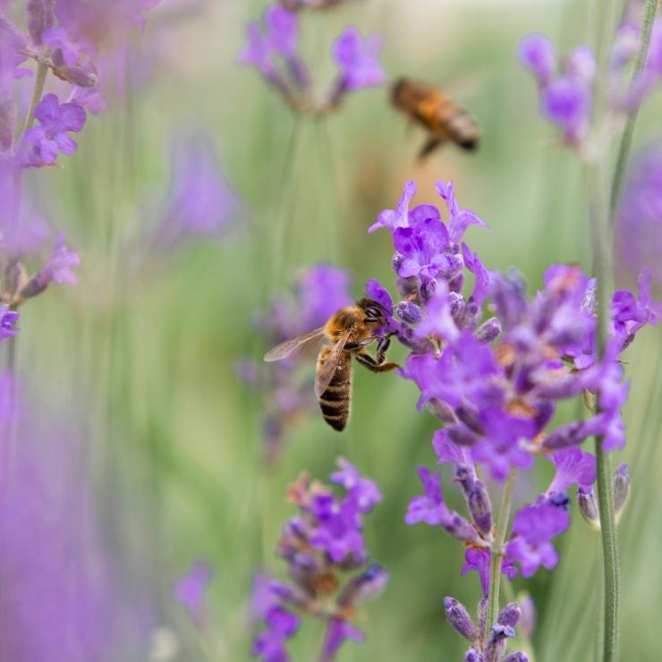 Photographie en gros plan d'une abeille dans la lavande.