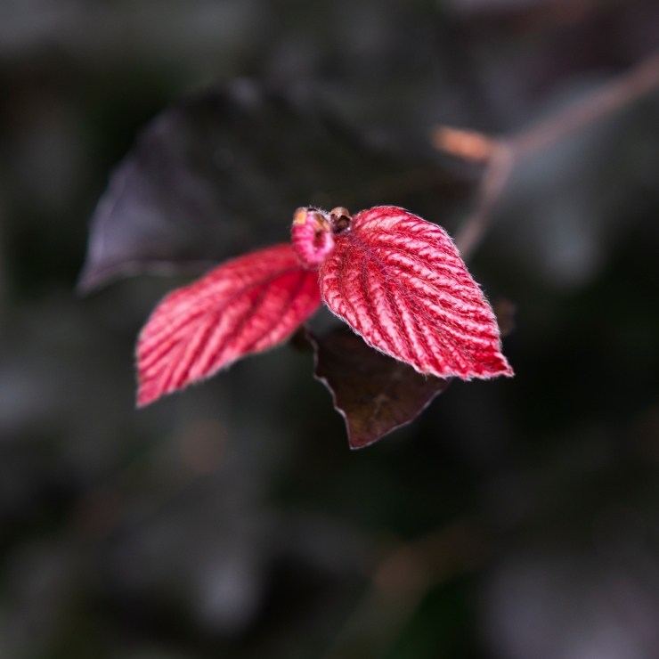 Photographie en gros plan d'une jeune feuille de hêtre fuchsia sur fond foncé.